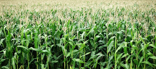 How to plant,grow and harvest maize