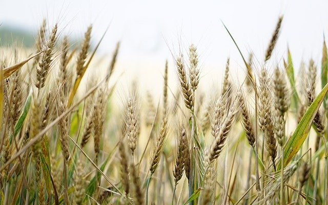 How to grow Wheat plants