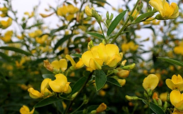 How to cultivate pigeon pea