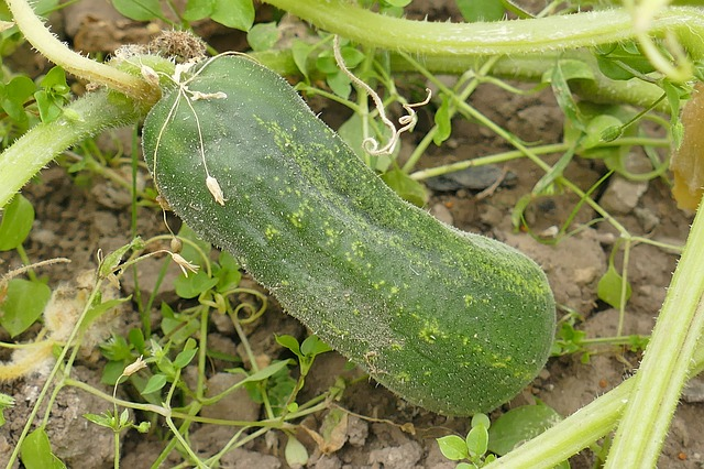 How to grow cucumber for more profits