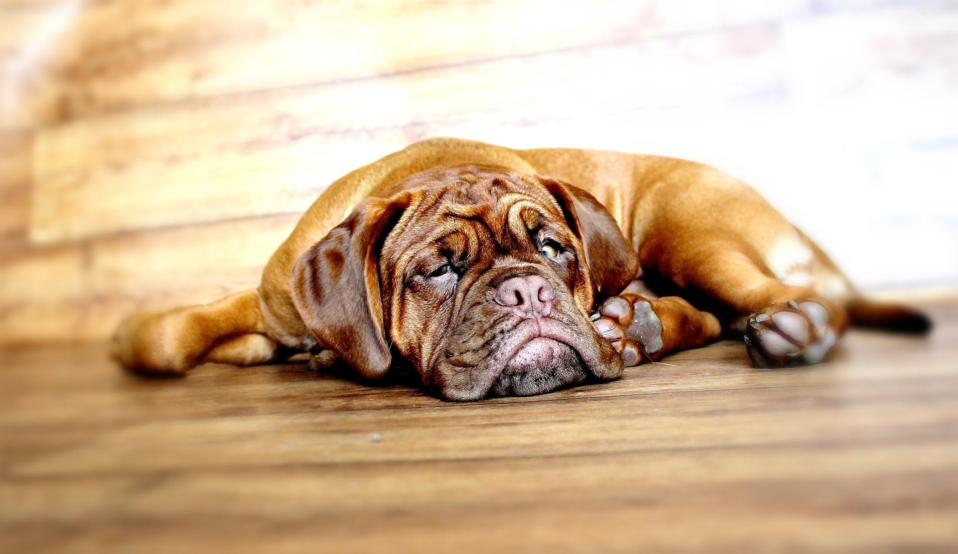 Dogue de Bordeaux dog personality