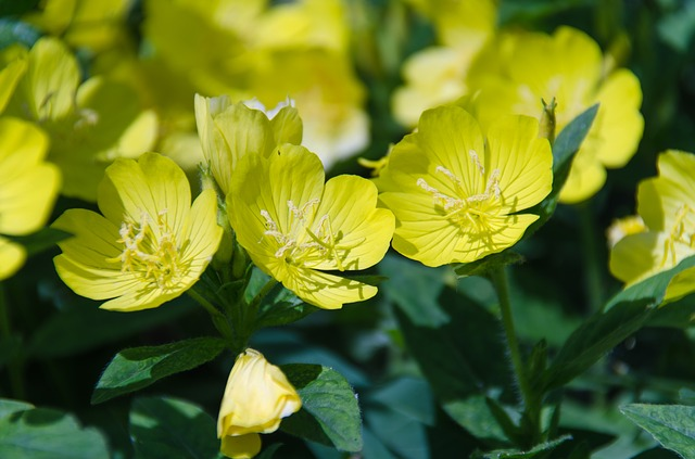 Uses and benefits of evening primrose oil