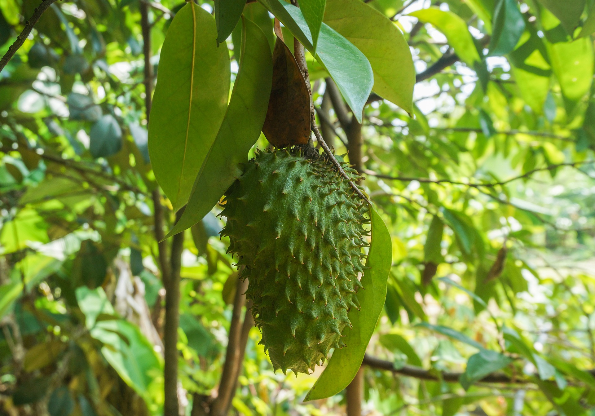 how to grow and harvest soursop