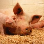 Pig reproduction from gestation to farrowing