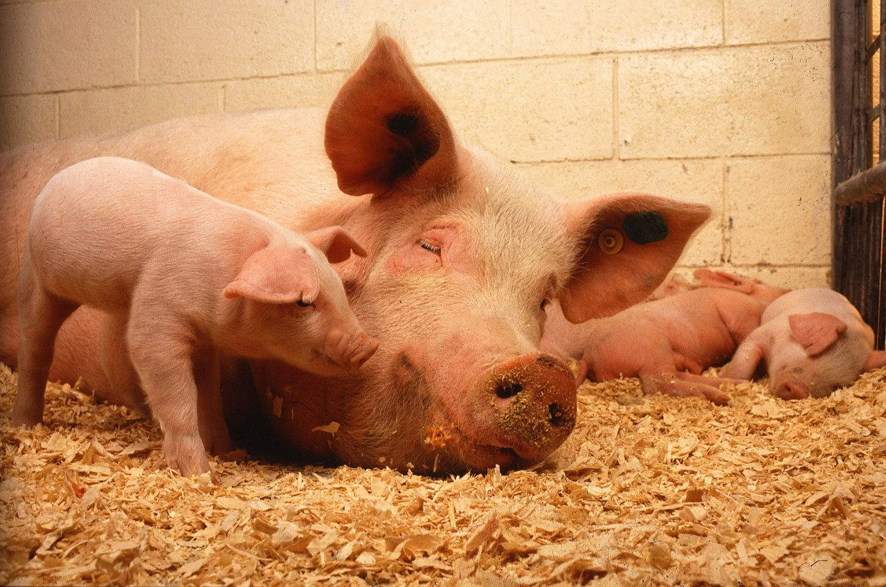 Protein supplement sources in pig feed