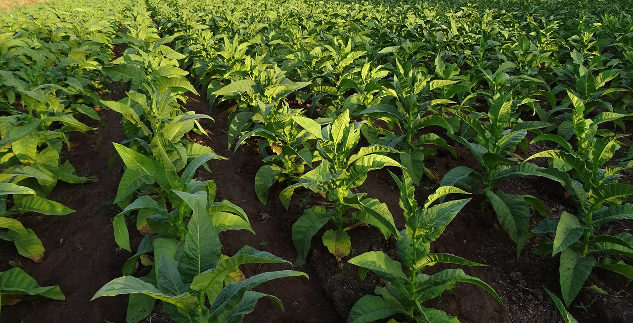How to grow tobacco for its leaf uses