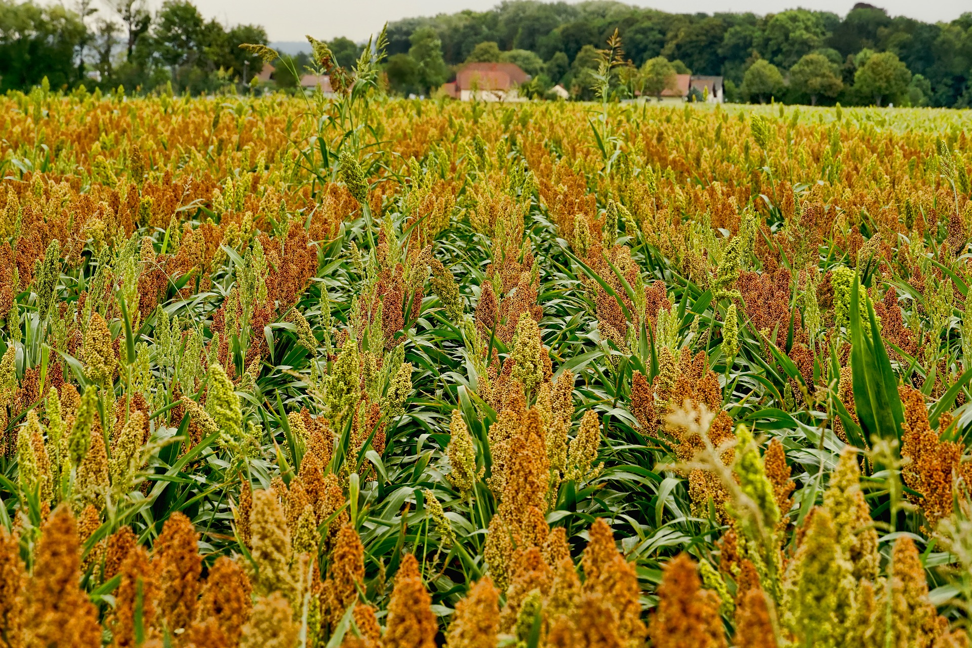 How to go into sorghum production