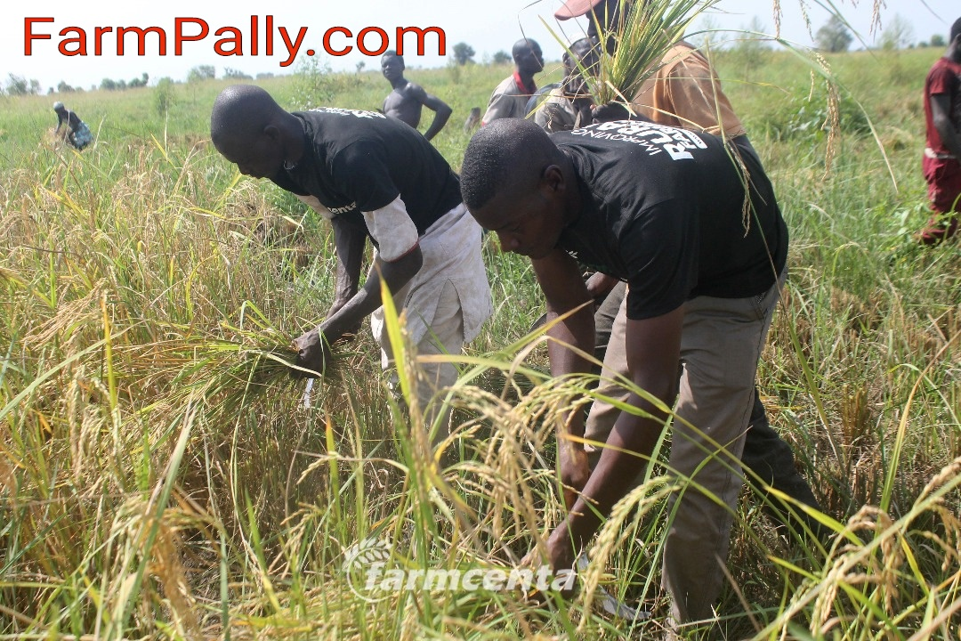 How to invest in farm in Nigeria without owning a farmland