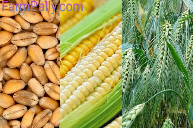 cereal grains as carb food sources for pig feed formulation