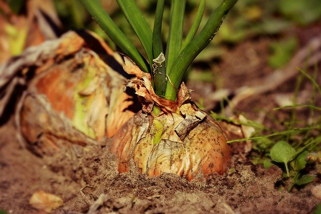 How to cultivate onion for higher yield