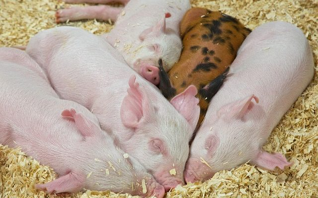 Different breeds of pigs and their Characteristics