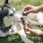 uses and health benefits of cbd oil for dogs and cats