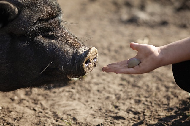 Digestion in pigs and how to feed them right