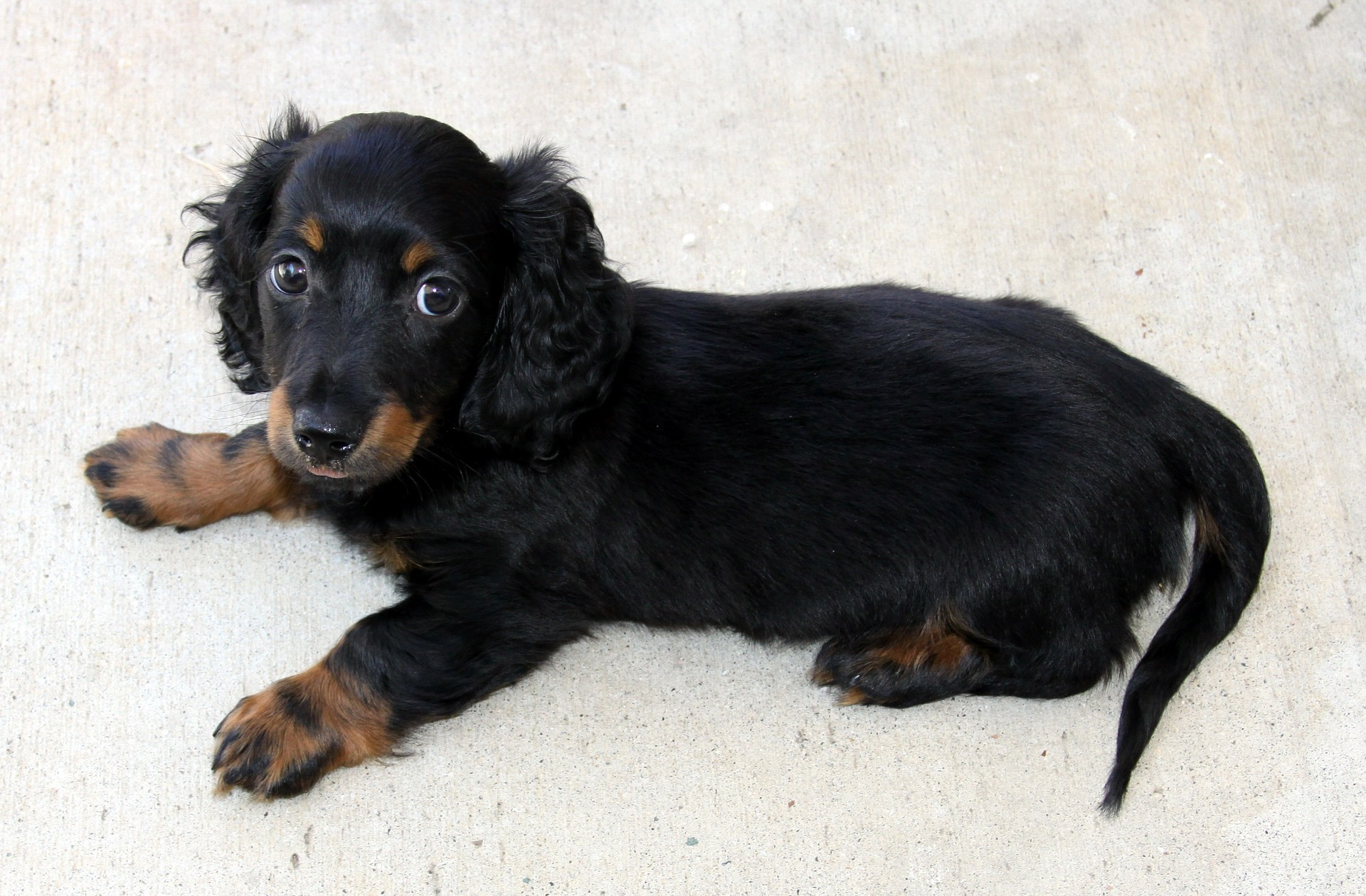 Characteristics of dachshund dogs, breedind and care