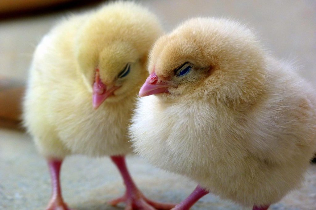 Management practices for successful chick brooding
