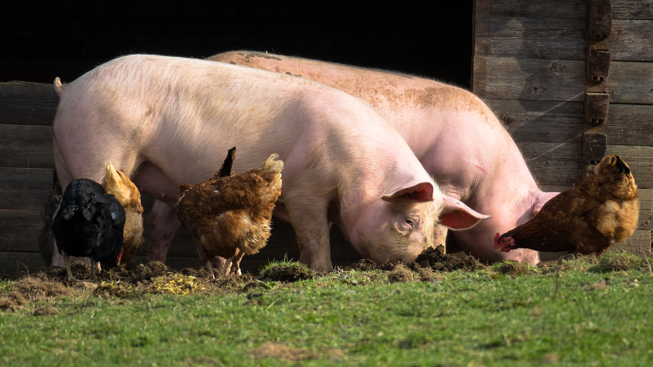 Health benefits of minerals to pigs and their deficiency symptoms