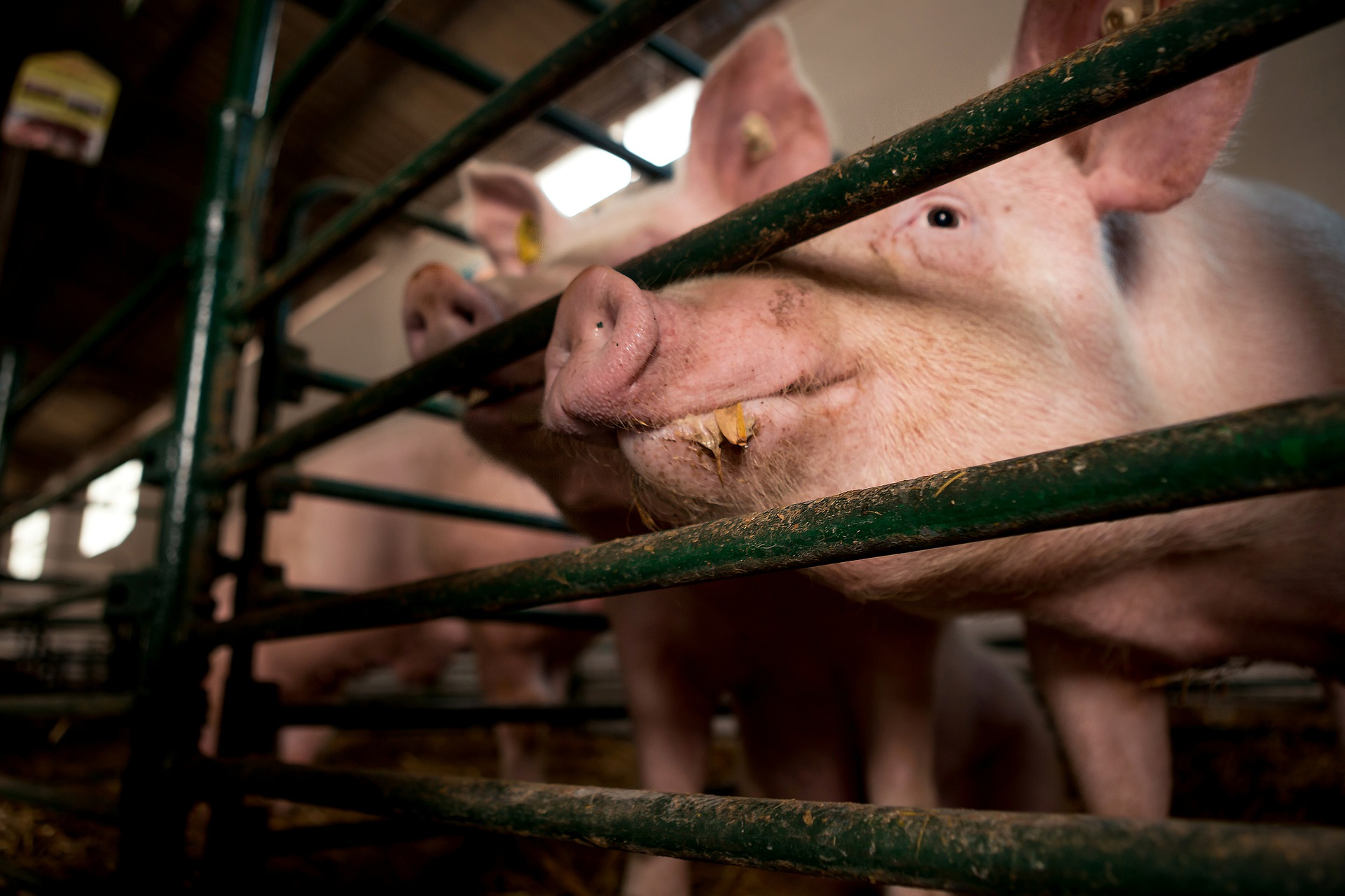 Importance of vitamins in pig's diet and to their growth