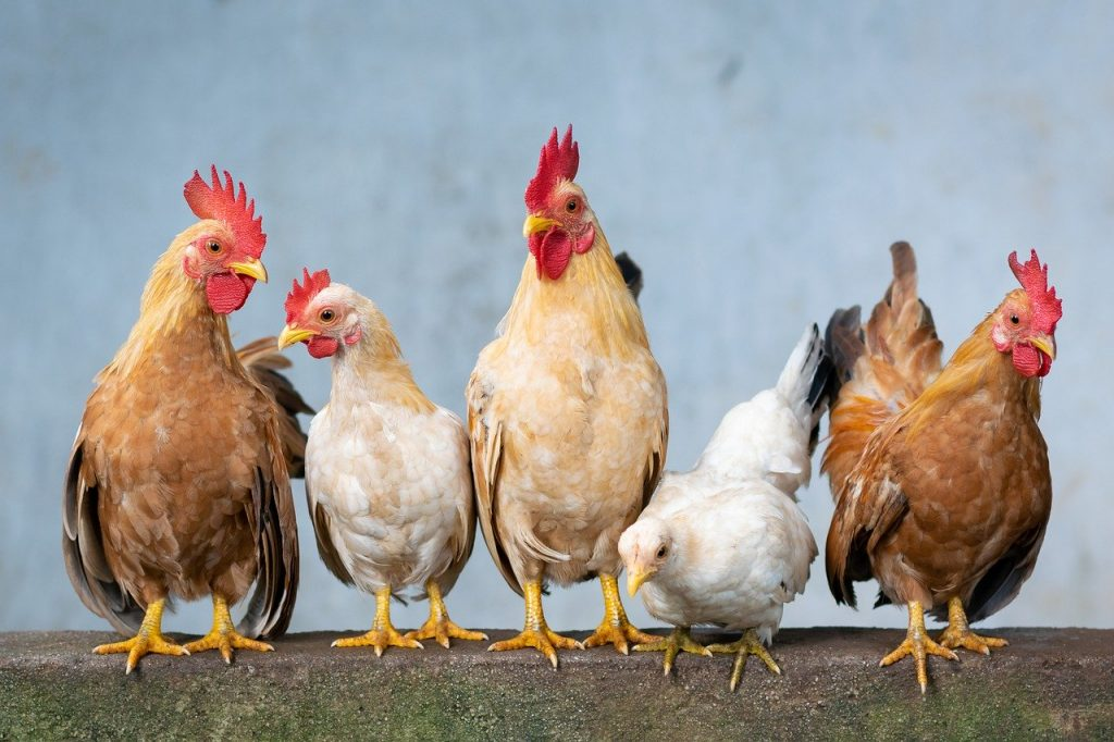How to care for chickens, prevent and control poultry diseases