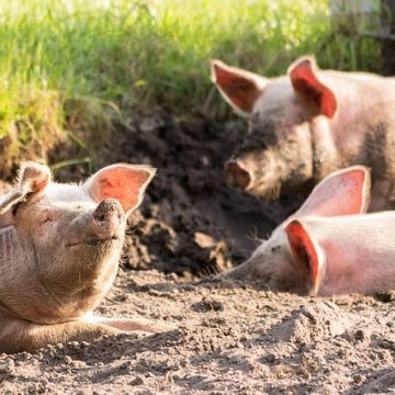 causes and symptoms of anthrax disease in pigs