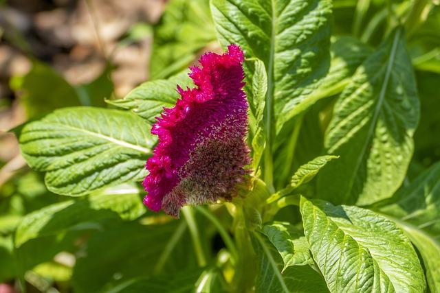 Celosia argentea description and cultivation
