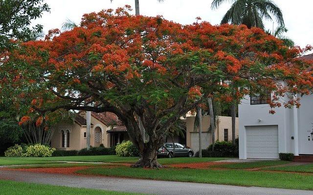 delonix regia or flamboyant tree strucutre and propeties