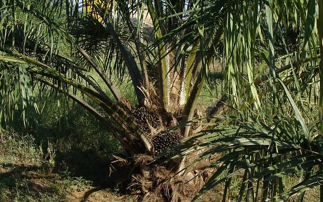 What is oil palm, leaves, trunk, roots and their uses