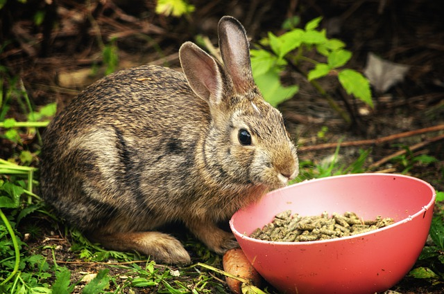 How to feed rabbit with proper meal to prevent health issues