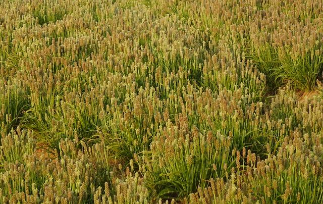 where psyllium husk plant is grown