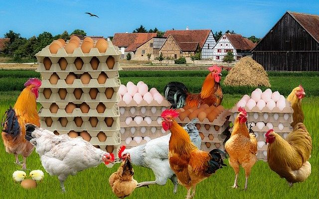 Causes of low egg production in commercial layer chicken