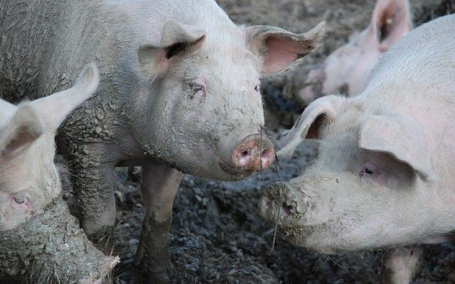 Erysipelas in Pigs, causes and treatment