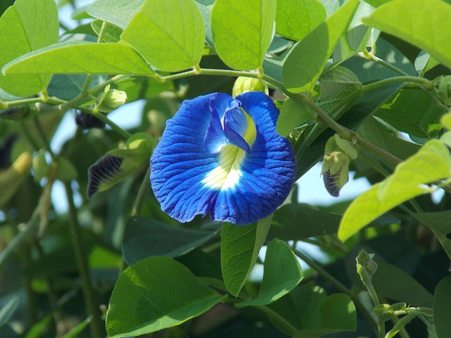 Clitoria ternatea flower structure and properties