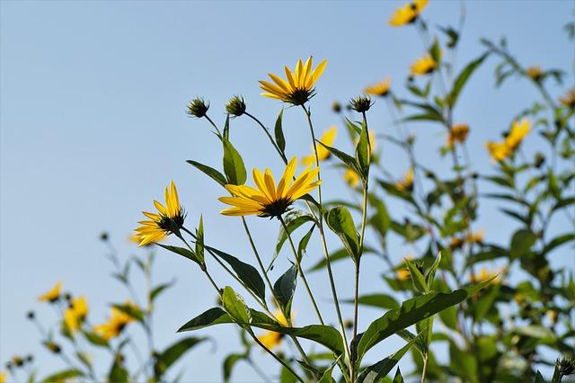 Jerusalem artichoke flower and tuber benefits
