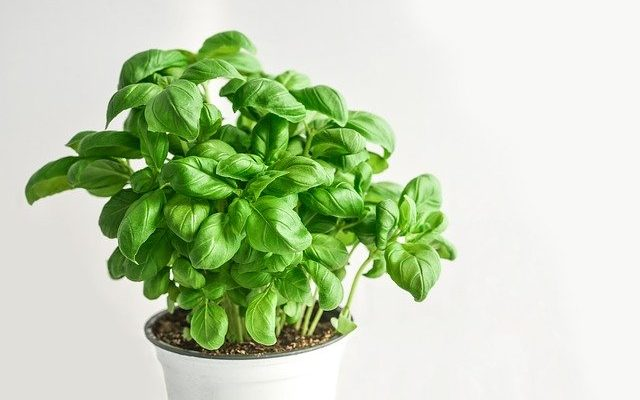How to make basil grow fast, harvest and store it