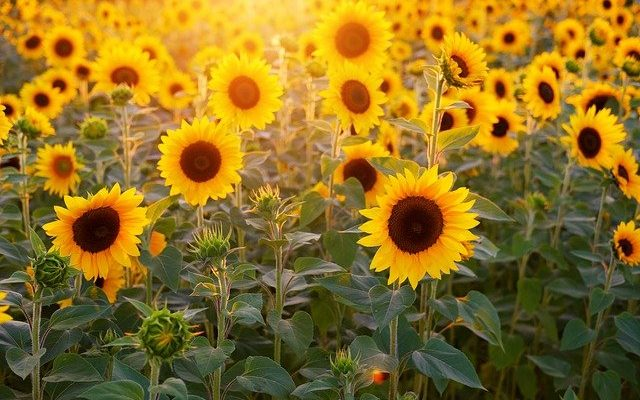 Sunflower pollination and reproduction