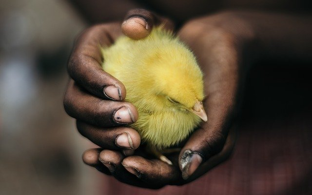 Factors to consider before buying day old chicks