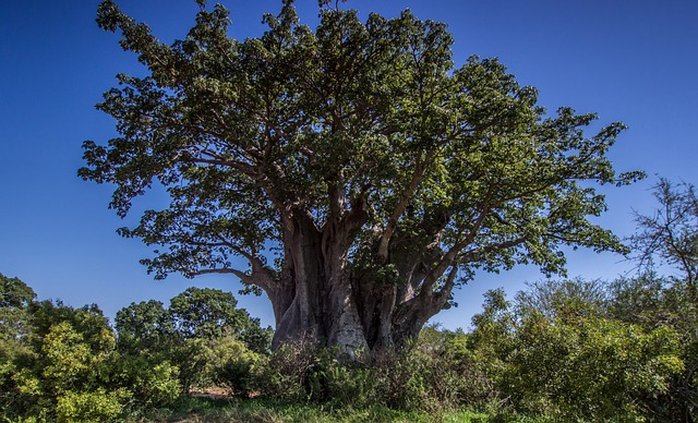 Baobab tree of Life and its nature
