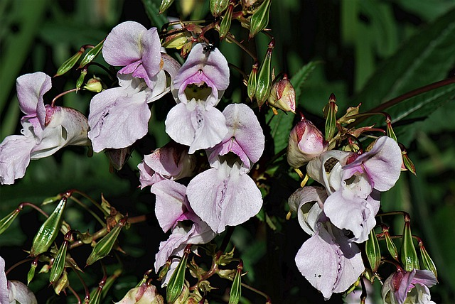what is balsam plant and how to grow it